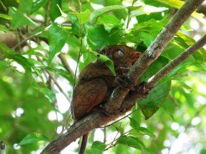 Tarsier - smallest monkey in the world